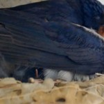 LIVECAM: Vlaštovka za oceánem