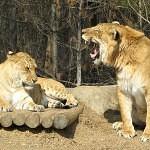 kříženec liger