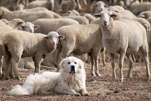 pyrenejský pastevecký pes