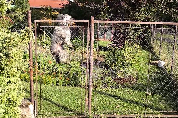 skákající pes