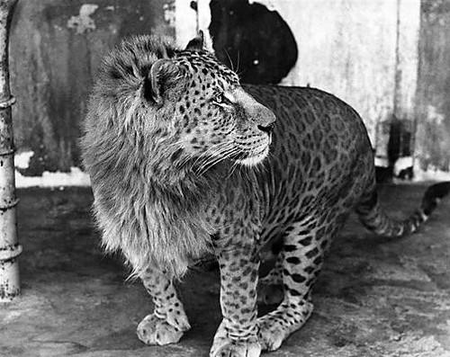 leopon kříženec