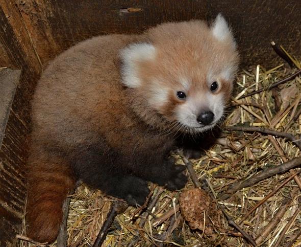 Ústecká zoo byla první v republice, kde se podařil odchov pandy červené, kredit © Jiří Bálek