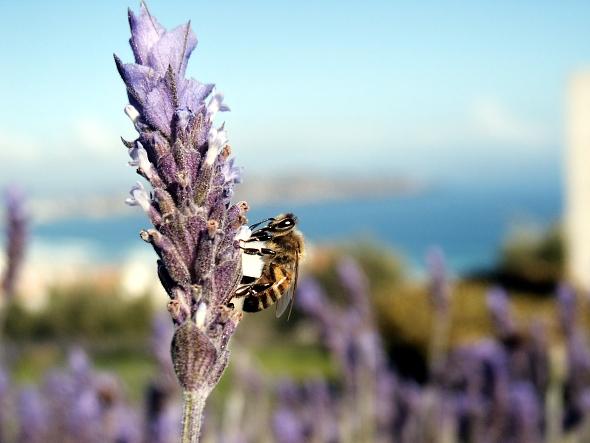Včelí kříženci opylují řadu rostlin a produkují množství medu. | Kredit: Jose Manuel Podlech, CC BY-SA 2.0