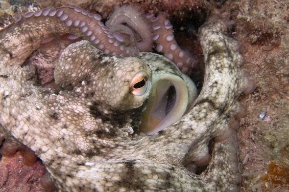 Octopus tetricus
