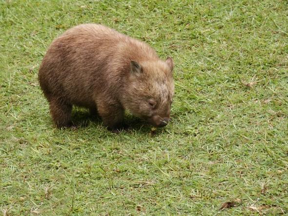 Ačkoli vombati připomínají medvědy, způsobem obživy se podobají hlodavcům. | Kredit: Richard Callanan, CC BY-SA 2.0