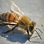 Zabijácké včely: experiment, který se nevyvedl