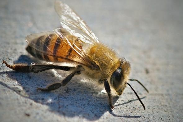 Zabijácké včely vznikly zkřížením afrických a evropských druhů. | Kredit: Daniel Plumer, CC BY 2.0