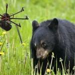 Létající drony děsí medvědy
