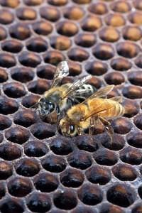 Zabijácká včela (vlevo) a evropská včela. Ačkoli se na snímku barevně odlišují, běžně se od sebe pouhým okem rozpoznat nedají.