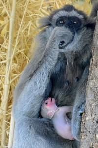 Malý gibon je Alangalanginým prvním potomkem. Kredit: Vít Lukáš, Zoo Praha