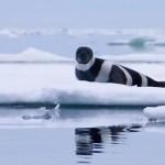 Tuleň pruhovaný – krásný a tajemný