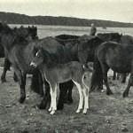 Kvůli omylu dülmenský pony v původní podobě nepřežil