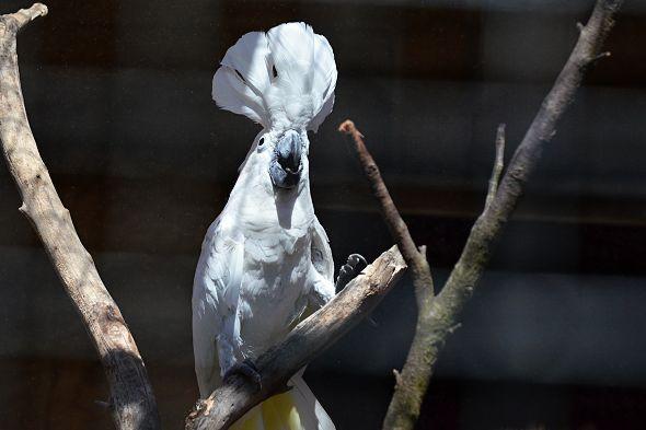 kakadu bilý
