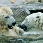 Medvědi v Zoo Praha budou mít umělý sníh