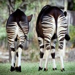 Okapi: půvabné stvoření z rodiny žiraf