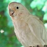 Papoušci kakadu používají nástroje