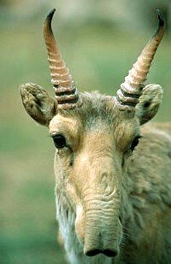 sajga tatarská nos