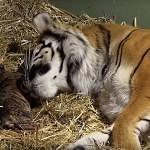 VIDEO: Tygří dvojčata přicházejí na svět
