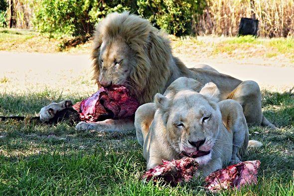 Zoologické zahrady s vegetariánstvím u kočkovitých šelem neexperimentují. Kredit: Graham Holtshausen, Flickr - CC BY