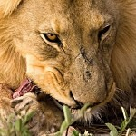 Může lev přežít jako vegetarián?