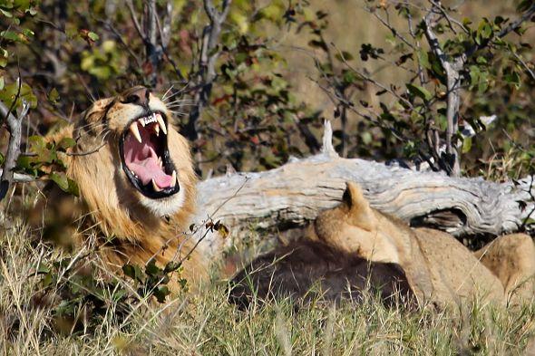 lev řvoucí