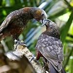 LIVECAM: Hnízdící nestor kaka
