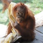 Návštěvou orangutanů v pražské zoo neprohloupíte