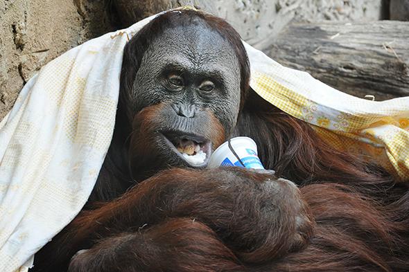 orangutan sumaterský Gempa