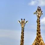 Proč má žirafa dlouhý krk
