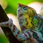 Co dostalo chameleony na vrchol (stromu)