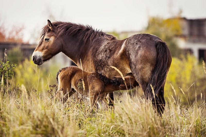 exmoorský pony - hříbě