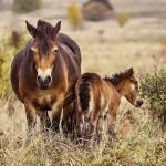 Matka prvního hříběte divokých koní bojuje o život, lidé ji krmili pečivem
