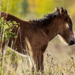 První hříbě divokých koní je klisnička
