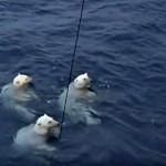 Medvědi ohryzali nákladné vědecké zařízení