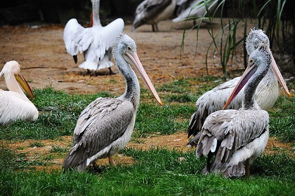 pelikán