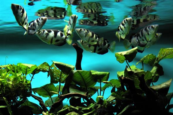 Dvě rasy ryb