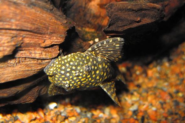 krunýřovec akvárium