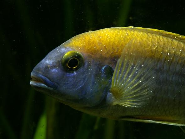 cichlida akvárium