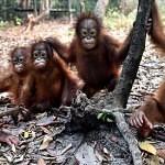 V Indonésii hoří vzácné pralesy