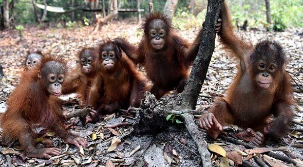 malí orangutani