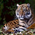 tygr sumaterský Indonésie