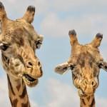Jak dělají žirafy?