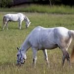 Pečivo v potravě koní – lahůdka, nebo jed?