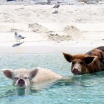 Vítejte na Prasečí pláži!
