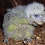 kakapo mládě