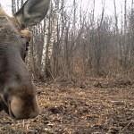 Živočichům se v okolí Černobylu daří