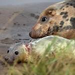 LIVECAM: Mláďata tuleňů kuželozubých