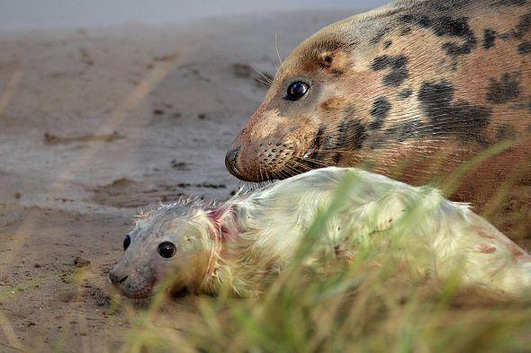 mláďata tuleňů šedých