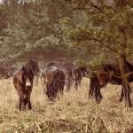 Další divocí koně přijeli do rezervace, doplnili zubry