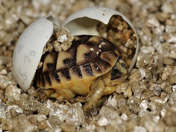 želva tuniská
